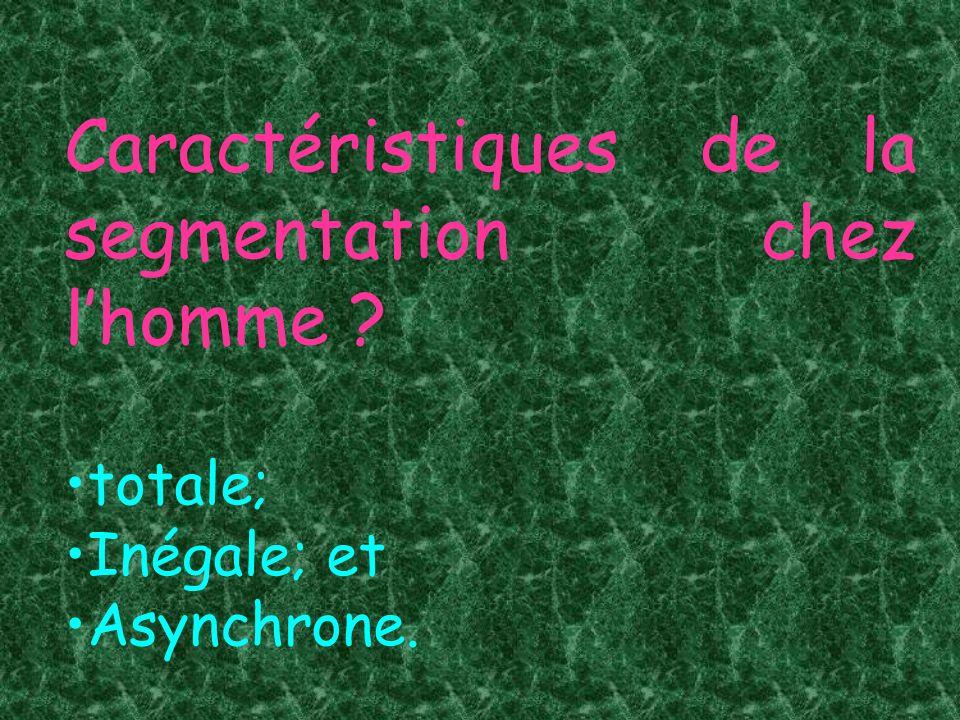 Caractéristiques de la segmentation chez lhomme ? totale; Inégale; et Asynchrone.