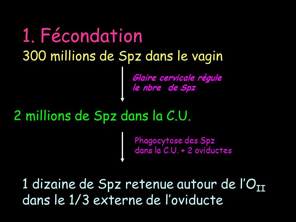 1. Fécondation 300 millions de Spz dans le vagin 2 millions de Spz dans la C.U. Glaire cervicale régule le nbre de Spz Phagocytose des Spz dans la C.U