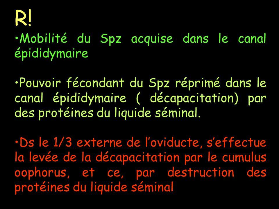 R! Mobilité du Spz acquise dans le canal épididymaire Pouvoir fécondant du Spz réprimé dans le canal épididymaire ( décapacitation) par des protéines