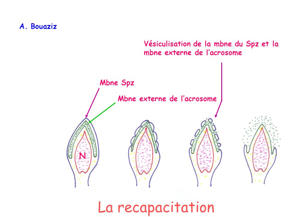 Mbne Spz Mbne externe de lacrosome Vésiculisation de la mbne du Spz et la mbne externe de lacrosome N A. Bouaziz La recapacitation