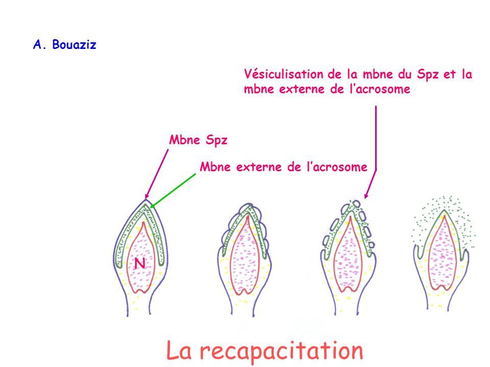 Mbne Spz Mbne externe de lacrosome Vésiculisation de la mbne du Spz et la mbne externe de lacrosome N A.