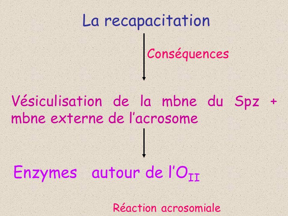 La recapacitation Conséquences Vésiculisation de la mbne du Spz + mbne externe de lacrosome Réaction acrosomiale Enzymes autour de lO II