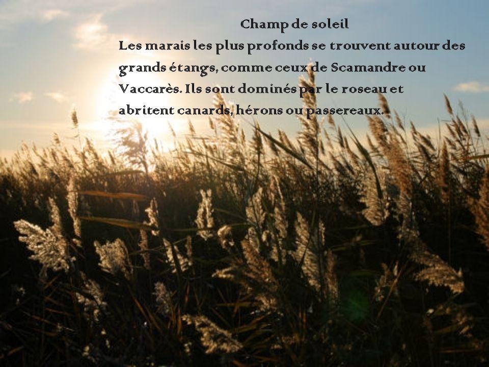 Champ de soleil Les marais les plus profonds se trouvent autour des grands étangs, comme ceux de Scamandre ou Vaccarès. Ils sont dominés par le roseau