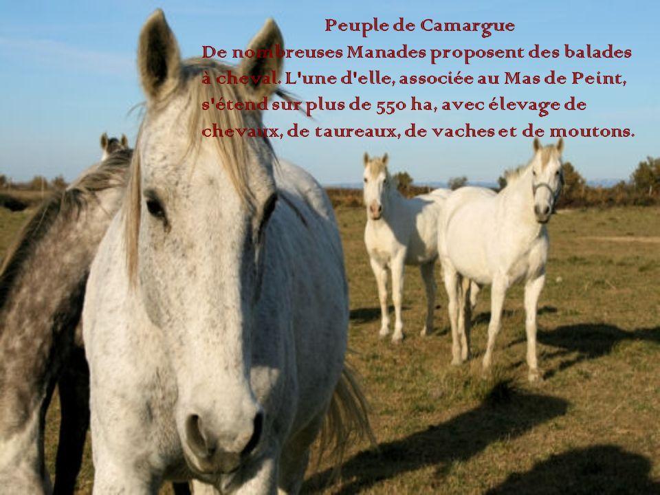 Peuple de Camargue De nombreuses Manades proposent des balades à cheval. L'une d'elle, associée au Mas de Peint, s'étend sur plus de 550 ha, avec élev