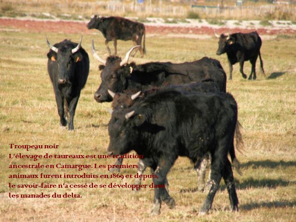 Troupeau noir Lélevage de taureaux est une tradition ancestrale en Camargue. Les premiers animaux furent introduits en 1869 et depuis, le savoir-faire