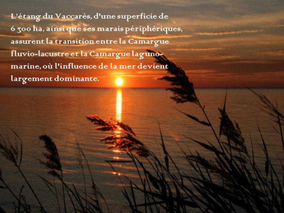 Létang du Vaccarès, d'une superficie de 6 300 ha, ainsi que ses marais périphériques, assurent la transition entre la Camargue fluvio-lacustre et la C