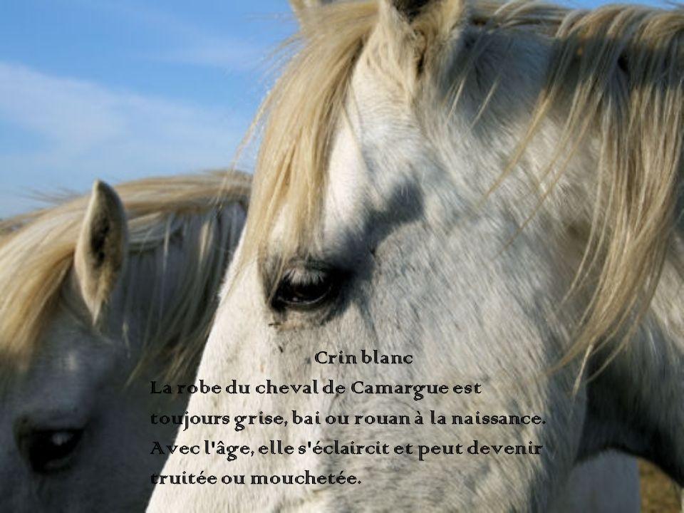 Crin blanc La robe du cheval de Camargue est toujours grise, bai ou rouan à la naissance. Avec l'âge, elle s'éclaircit et peut devenir truitée ou mouc