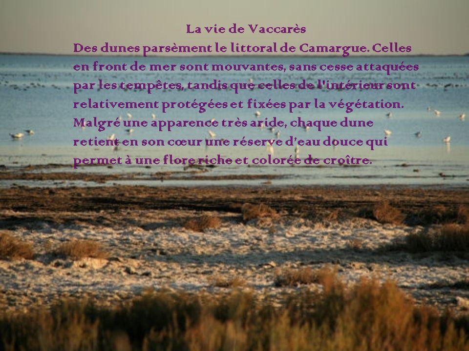 La vie de Vaccarès Des dunes parsèment le littoral de Camargue. Celles en front de mer sont mouvantes, sans cesse attaquées par les tempêtes, tandis q