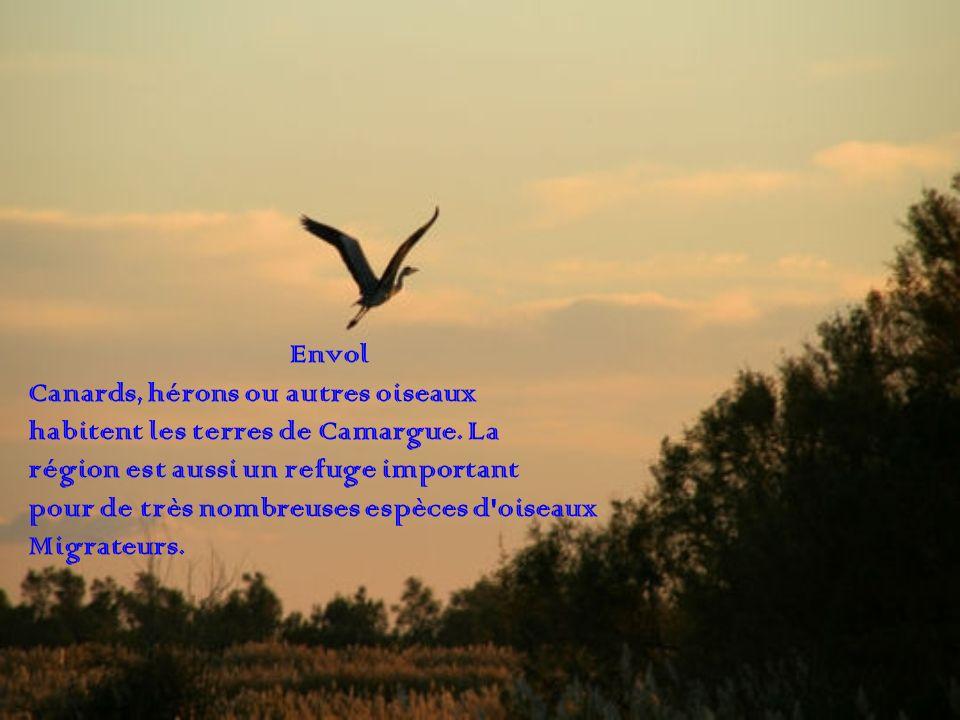 Envol Canards, hérons ou autres oiseaux habitent les terres de Camargue. La région est aussi un refuge important pour de très nombreuses espèces d'ois