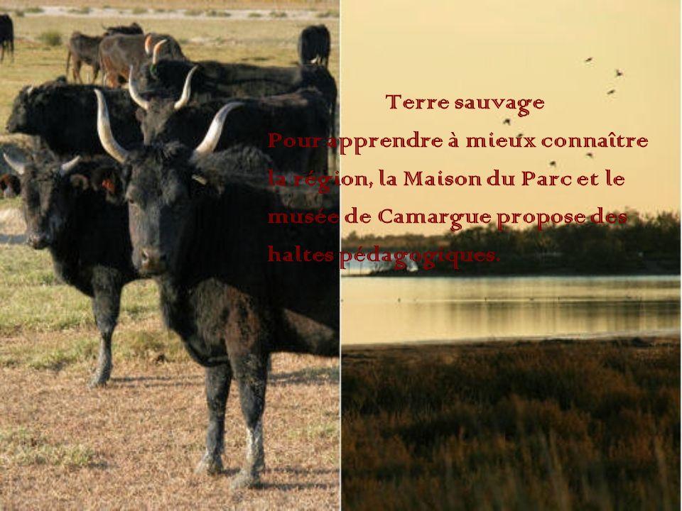 Terre sauvage Pour apprendre à mieux connaître la région, la Maison du Parc et le musée de Camargue propose des haltes pédagogiques.