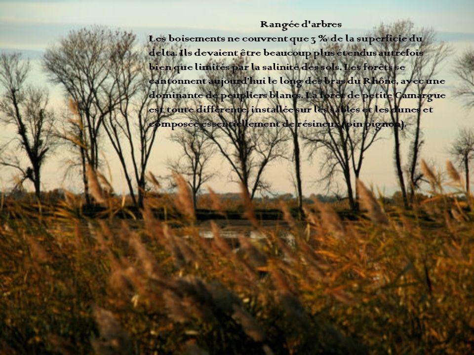 Rangée d'arbres Les boisements ne couvrent que 3 % de la superficie du delta. Ils devaient être beaucoup plus étendus autrefois bien que limités par l