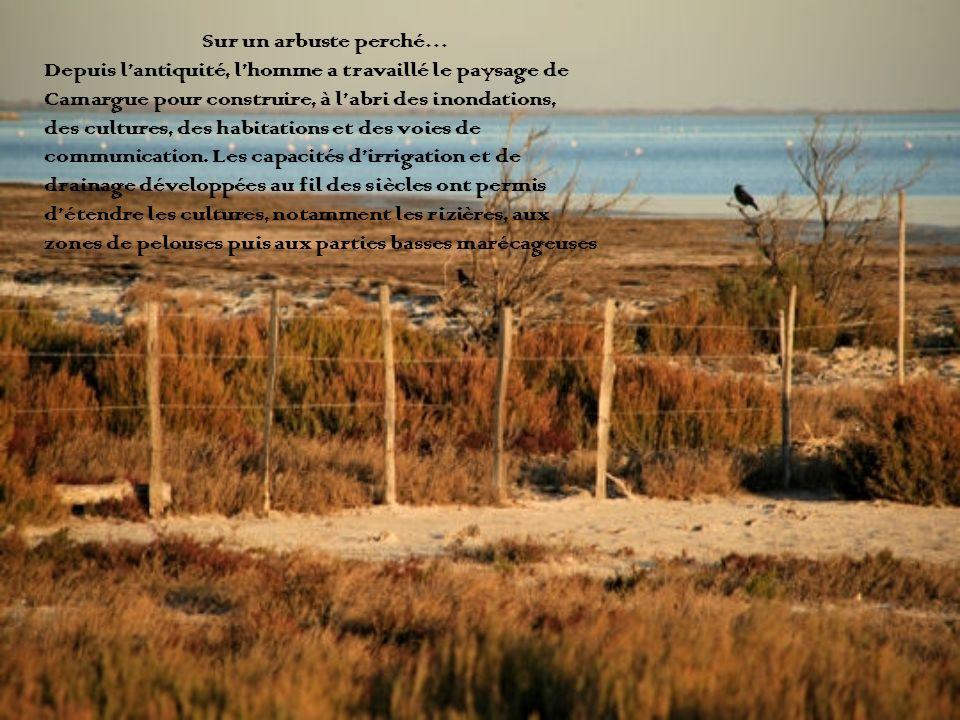 Sur un arbuste perché… Depuis lantiquité, lhomme a travaillé le paysage de Camargue pour construire, à labri des inondations, des cultures, des habita