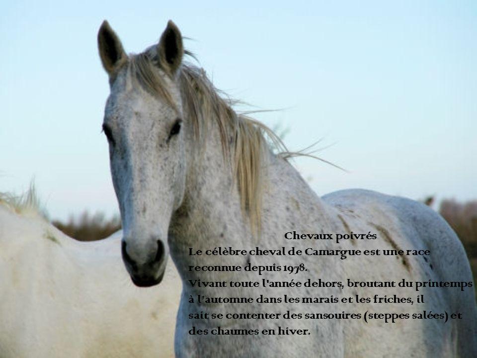 Chevaux poivrés Le célèbre cheval de Camargue est une race reconnue depuis 1978. Vivant toute l'année dehors, broutant du printemps à lautomne dans le