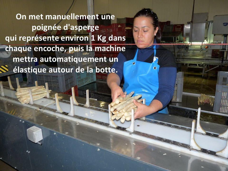 On met manuellement une poignée d asperge qui représente environ 1 Kg dans chaque encoche, puis la machine mettra automatiquement un élastique autour de la botte.