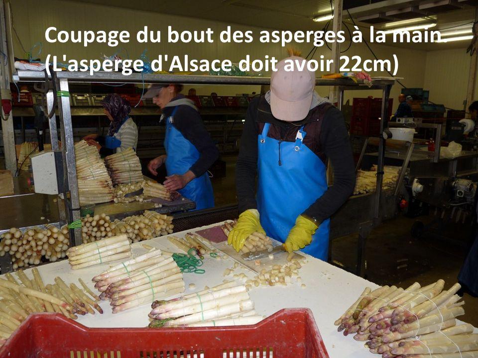 Coupage du bout des asperges à la main. (L asperge d Alsace doit avoir 22cm)
