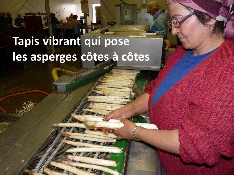 Chaque botte est pesée et, selon le cas, on enlève ou rajoute une asperge pour que le poids corresponde.