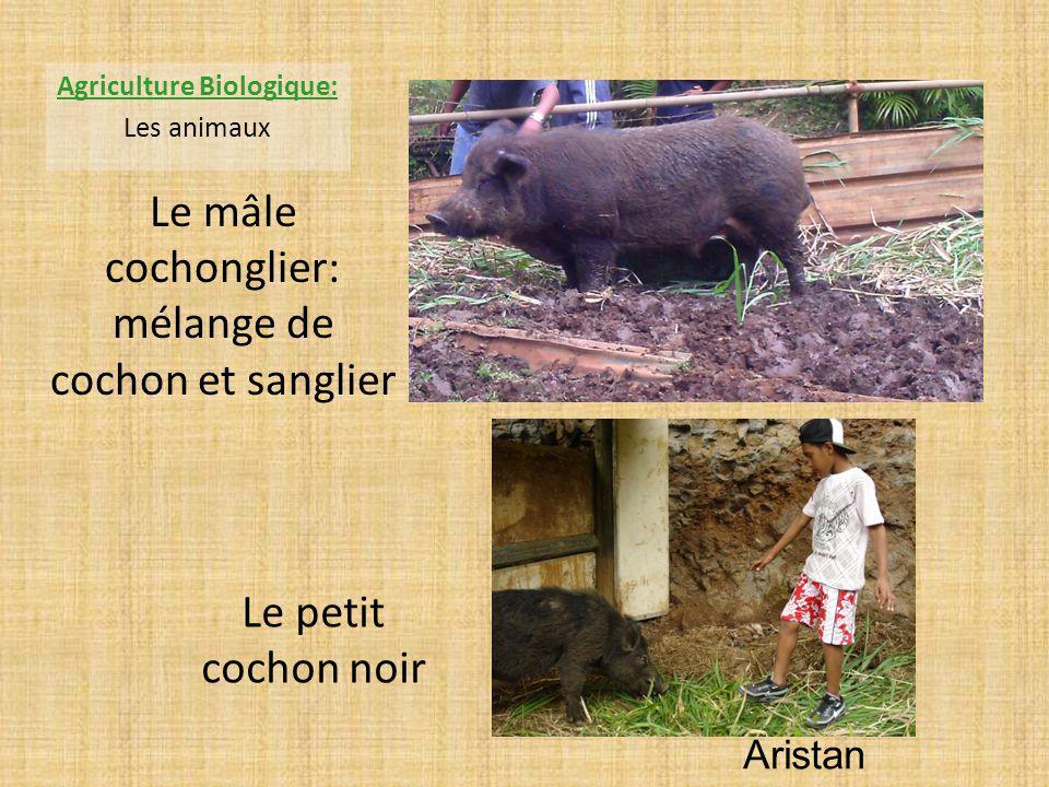 Aristan Agriculture Biologique: Les animaux Le mâle cochonglier: mélange de cochon et sanglier Le petit cochon noir
