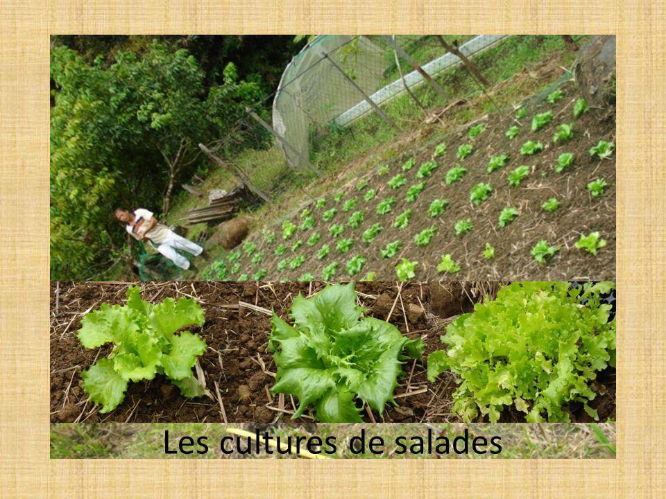 Les cultures de salades