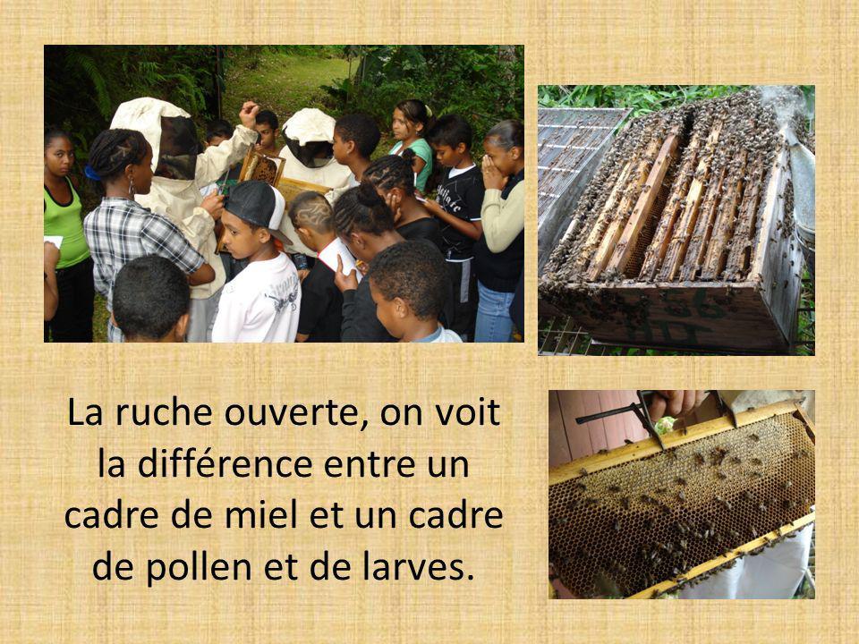 La ruche ouverte, on voit la différence entre un cadre de miel et un cadre de pollen et de larves.