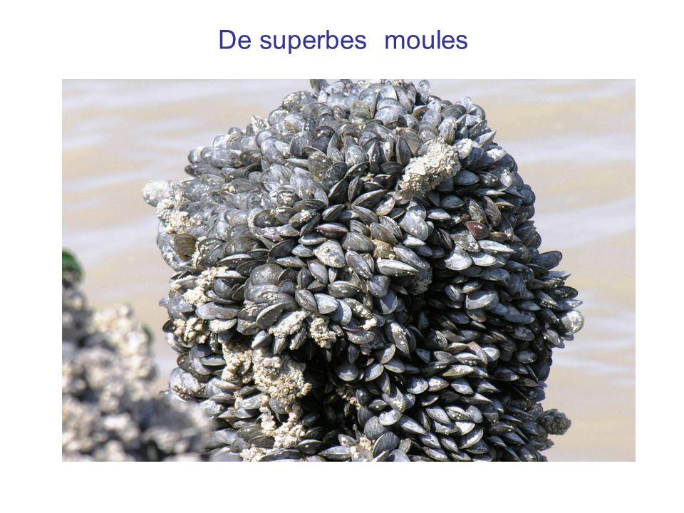 Des bouchots bien garnis La moule a besoin de 10 à 18 mois pour atteindre sa taille commerciale.