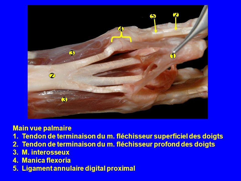Main vue palmaire 1.Tendon de terminaison du m. fléchisseur superficiel des doigts 2.Tendon de terminaison du m. fléchisseur profond des doigts 3.M. i