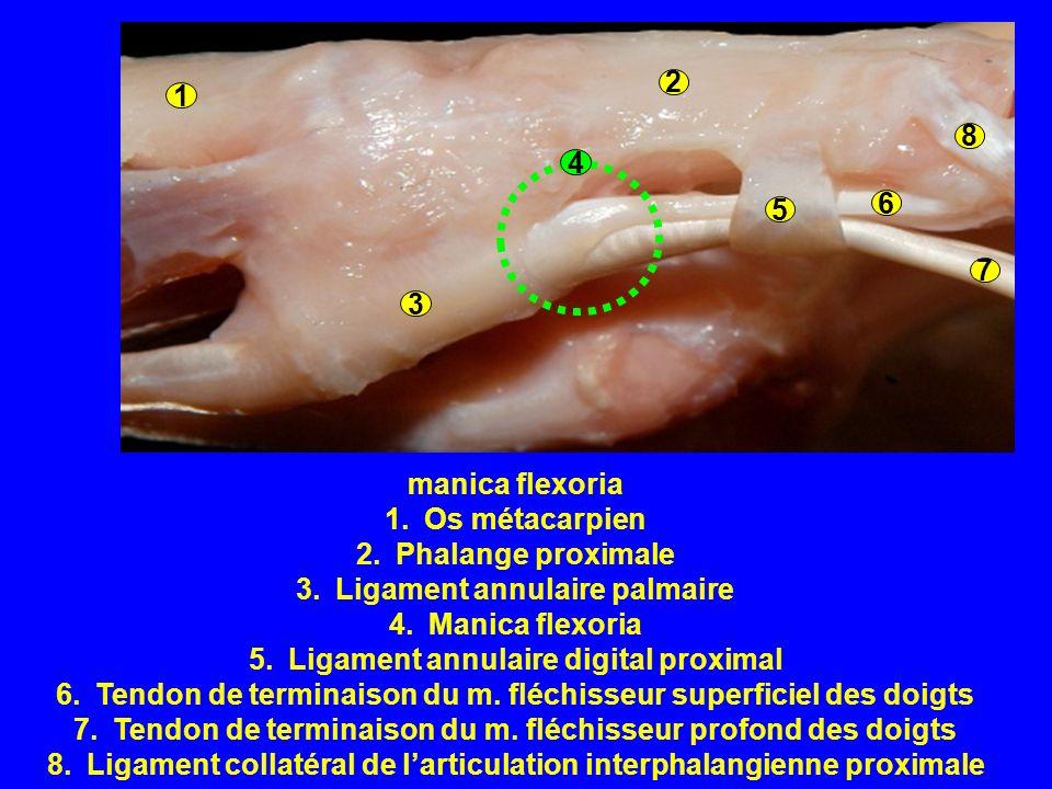 manica flexoria 1.Os métacarpien 2.Phalange proximale 3.Ligament annulaire palmaire 4.Manica flexoria 5.Ligament annulaire digital proximal 6.Tendon de terminaison du m.