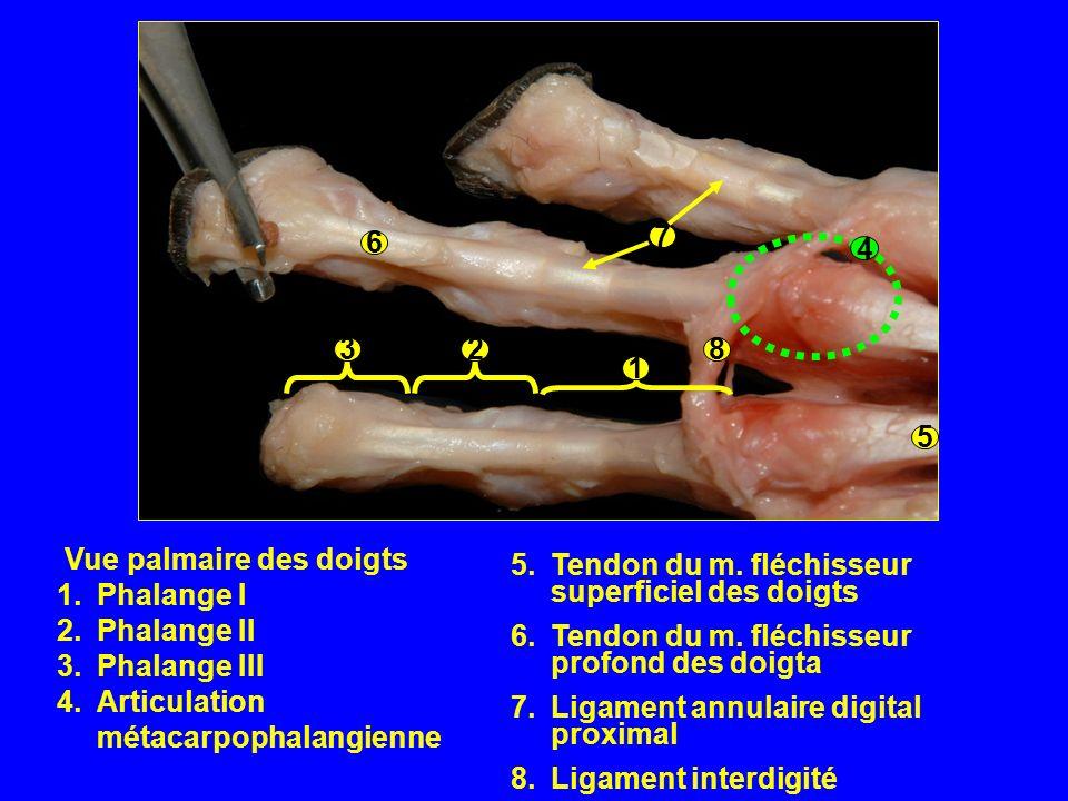 Vue palmaire des doigts 1.Phalange I 2.Phalange II 3.Phalange III 4.Articulation métacarpophalangienne 8 6 7 5 4 1 23 5.Tendon du m.