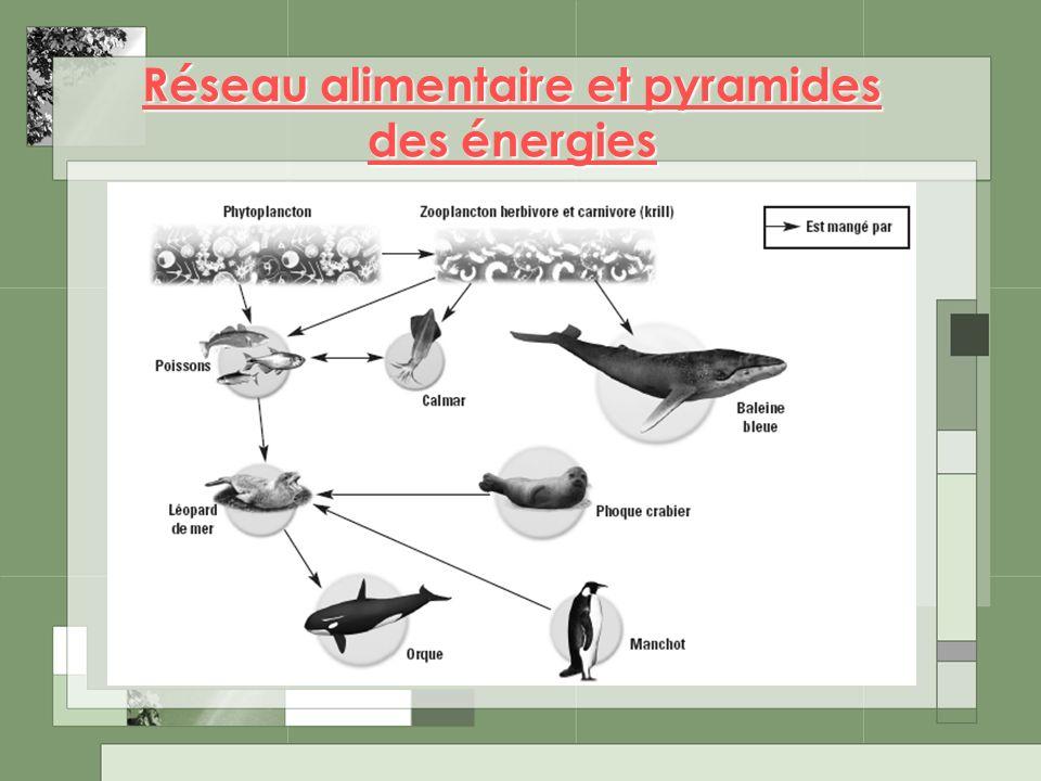 Réseau alimentaire et pyramides des énergies Réseau alimentaire et pyramides des énergies