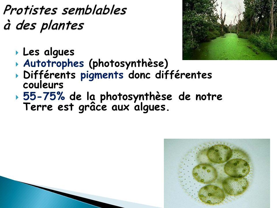 Les algues Autotrophes (photosynthèse) Différents pigments donc différentes couleurs 55-75% de la photosynthèse de notre Terre est grâce aux algues.