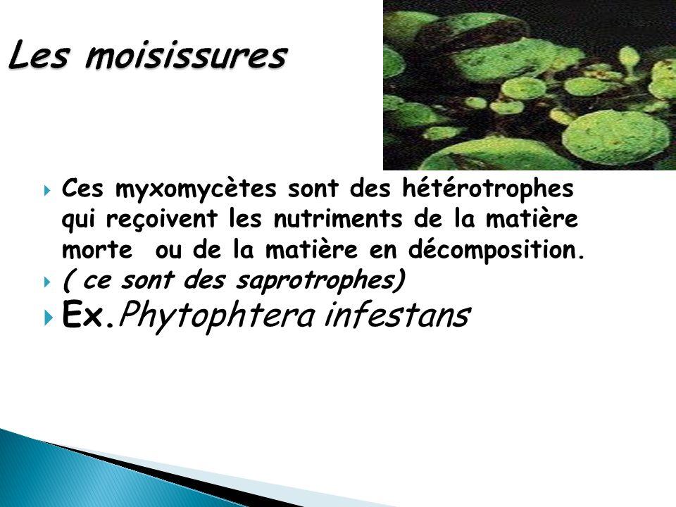 Ces myxomycètes sont des hétérotrophes qui reçoivent les nutriments de la matière morte ou de la matière en décomposition.
