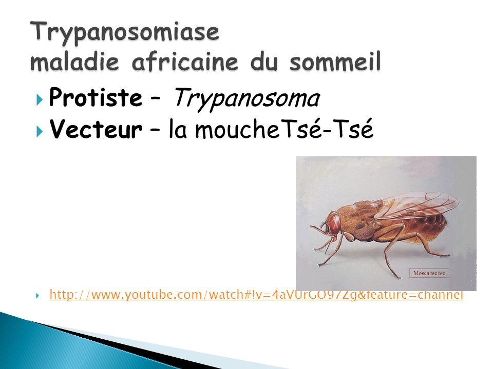 Protiste – Trypanosoma Vecteur – la moucheTsé-Tsé http://www.youtube.com/watch#!v=4aVUrGO97Zg&feature=channel
