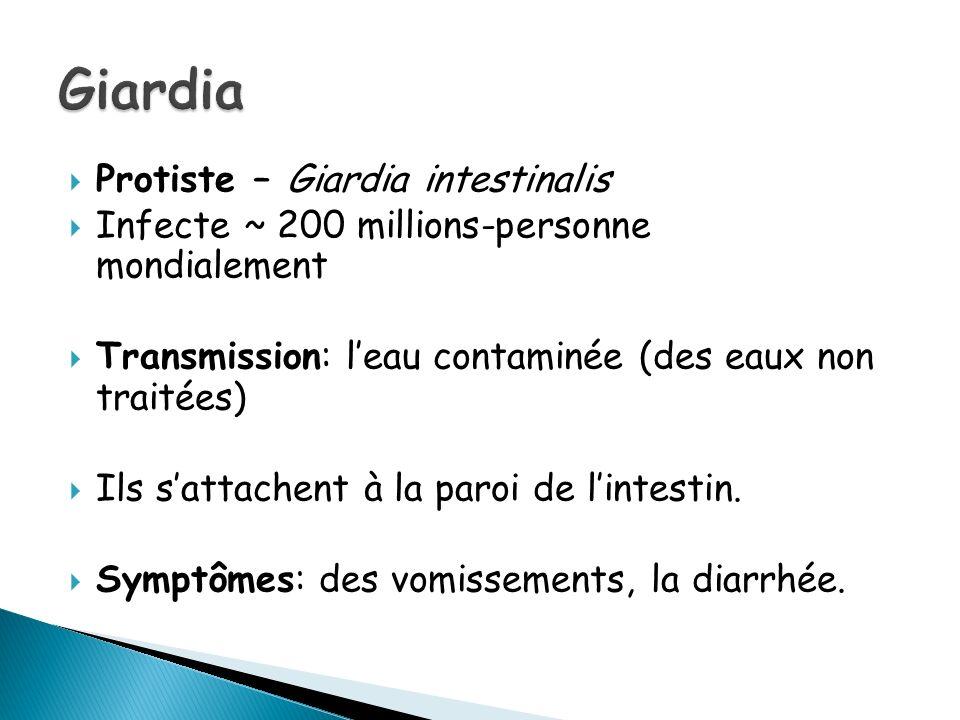 Protiste – Giardia intestinalis Infecte ~ 200 millions-personne mondialement Transmission: leau contaminée (des eaux non traitées) Ils sattachent à la paroi de lintestin.