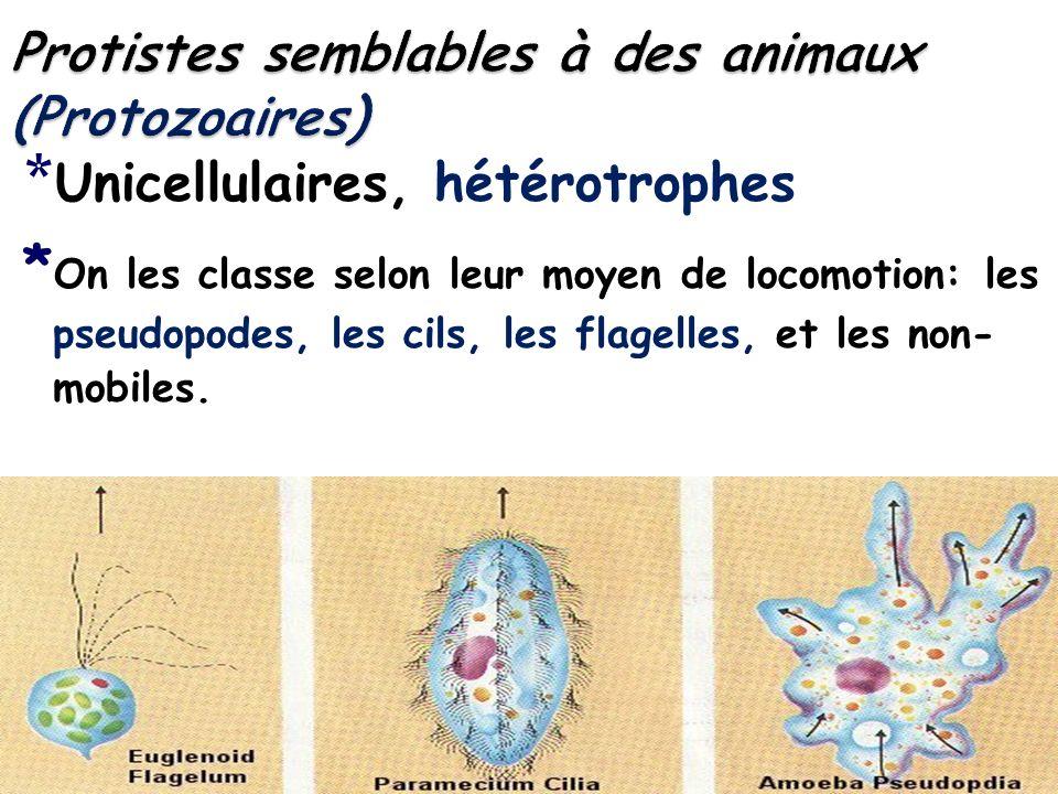 * Unicellulaires, hétérotrophes * On les classe selon leur moyen de locomotion: les pseudopodes, les cils, les flagelles, et les non- mobiles.