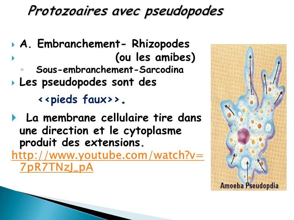 A. Embranchement- Rhizopodes (ou les amibes) Sous-embranchement-Sarcodina Les pseudopodes sont des >. La membrane cellulaire tire dans une direction e