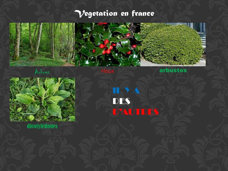 Vegetation en france Arbres Houx arbustes dicotylédones IL Y A DES DAUTRES