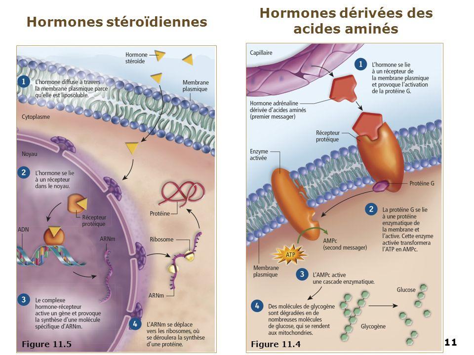 11 Figure 11.5Figure 11.4 Hormones stéroïdiennes Hormones dérivées des acides aminés