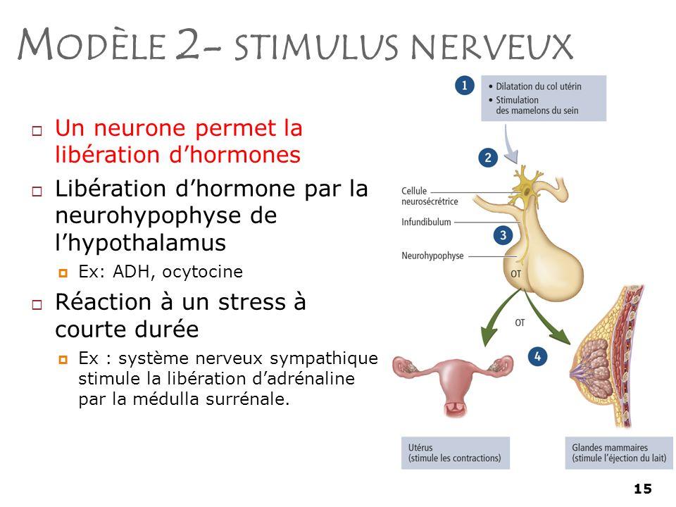15 M ODÈLE 2- STIMULUS NERVEUX Un neurone permet la libération dhormones Libération dhormone par la neurohypophyse de lhypothalamus Ex: ADH, ocytocine Réaction à un stress à courte durée Ex : système nerveux sympathique stimule la libération dadrénaline par la médulla surrénale.