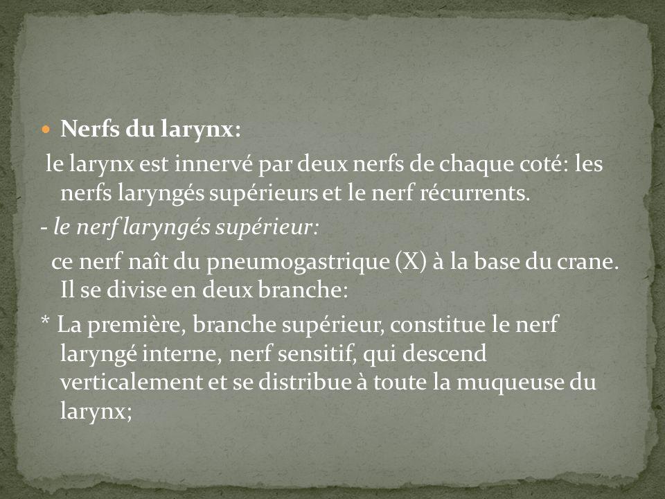 Nerfs du larynx: le larynx est innervé par deux nerfs de chaque coté: les nerfs laryngés supérieurs et le nerf récurrents. - le nerf laryngés supérieu