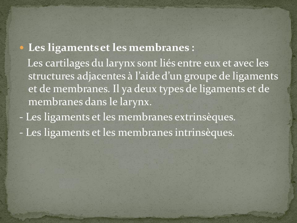 Les ligaments et les membranes : Les cartilages du larynx sont liés entre eux et avec les structures adjacentes à laide dun groupe de ligaments et de