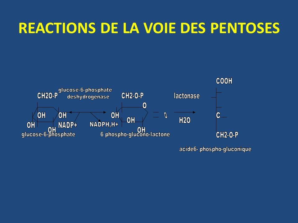 REACTIONS DE LA VOIE DES PENTOSES