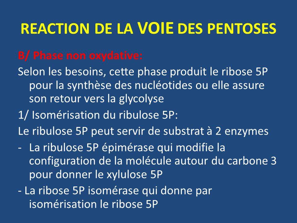 REACTION DE LA VOIE DES PENTOSES B/ Phase non oxydative: Selon les besoins, cette phase produit le ribose 5P pour la synthèse des nucléotides ou elle assure son retour vers la glycolyse 1/ Isomérisation du ribulose 5P: Le ribulose 5P peut servir de substrat à 2 enzymes -La ribulose 5P épimérase qui modifie la configuration de la molécule autour du carbone 3 pour donner le xylulose 5P - La ribose 5P isomérase qui donne par isomérisation le ribose 5P
