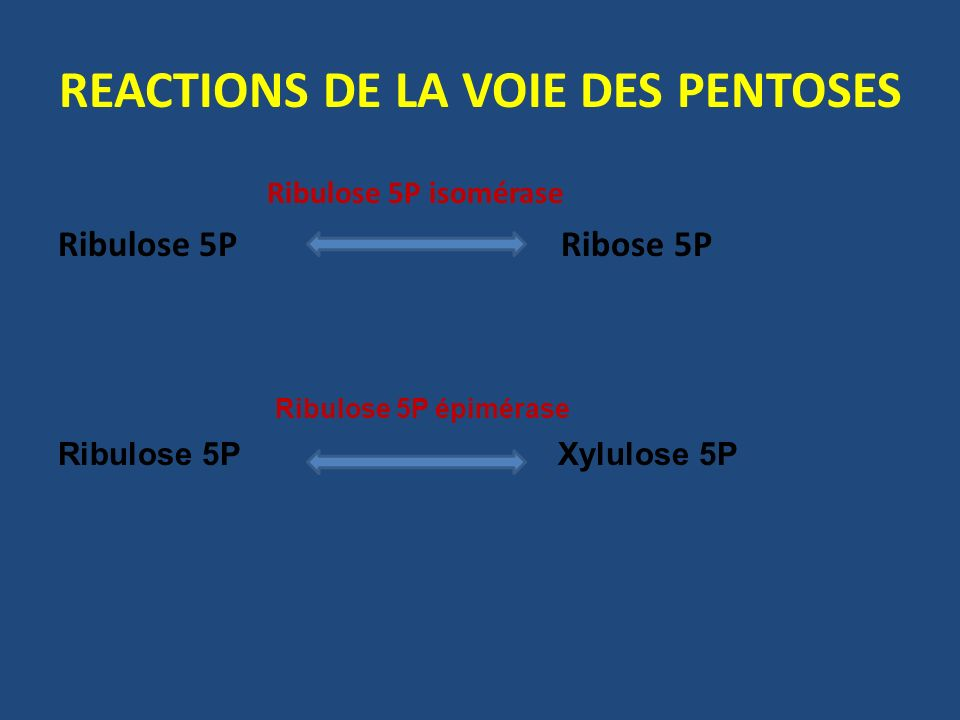 REACTIONS DE LA VOIE DES PENTOSES Ribulose 5P isomérase Ribulose 5P Ribose 5P Ribulose 5P épimérase Ribulose 5P Xylulose 5P