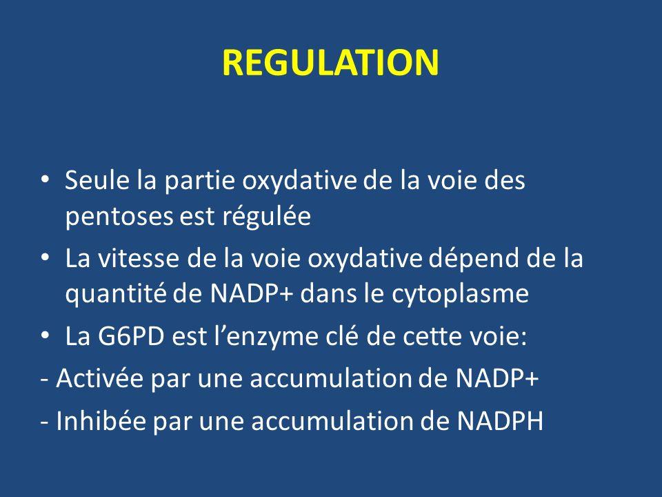 REGULATION Seule la partie oxydative de la voie des pentoses est régulée La vitesse de la voie oxydative dépend de la quantité de NADP+ dans le cytoplasme La G6PD est lenzyme clé de cette voie: - Activée par une accumulation de NADP+ - Inhibée par une accumulation de NADPH