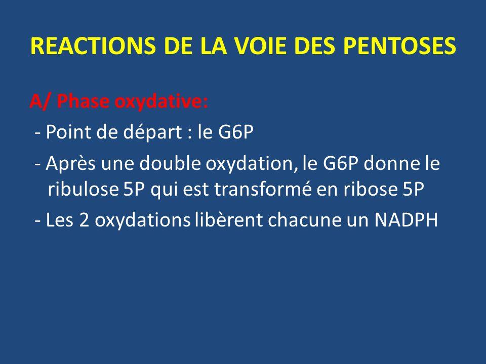 REACTIONS DE LA VOIE DES PENTOSES A/ Phase oxydative: - Point de départ : le G6P - Après une double oxydation, le G6P donne le ribulose 5P qui est transformé en ribose 5P - Les 2 oxydations libèrent chacune un NADPH