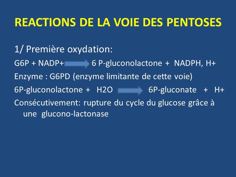 REACTIONS DE LA VOIE DES PENTOSES 1/ Première oxydation: G6P + NADP+ 6 P-gluconolactone + NADPH, H+ Enzyme : G6PD (enzyme limitante de cette voie) 6P-gluconolactone + H2O 6P-gluconate + H+ Consécutivement: rupture du cycle du glucose grâce à une glucono-lactonase