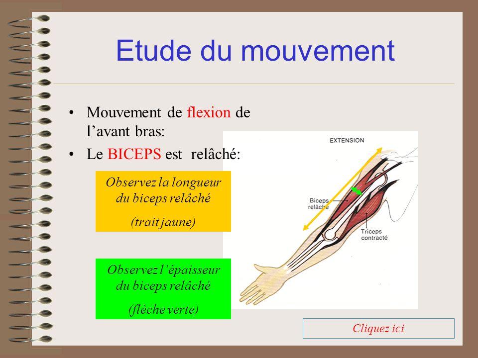 Etude du mouvement Mouvement de flexion de lavant bras: Le BICEPS est relâché: Observez la longueur du biceps relâché (trait jaune) Observez lépaisseu