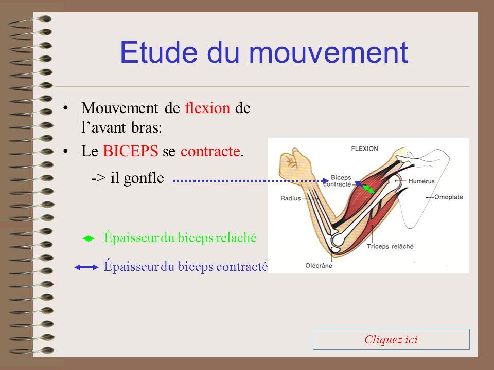 Mouvement de flexion de lavant bras: Le BICEPS se contracte. Etude du mouvement Épaisseur du biceps contracté Épaisseur du biceps relâché -> il gonfle