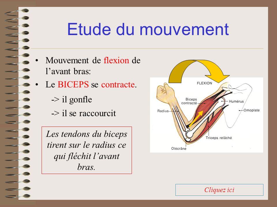 Mouvement de flexion de lavant bras: Le BICEPS se contracte. Etude du mouvement -> il se raccourcit -> il gonfle Cliquez ici Les tendons du biceps tir