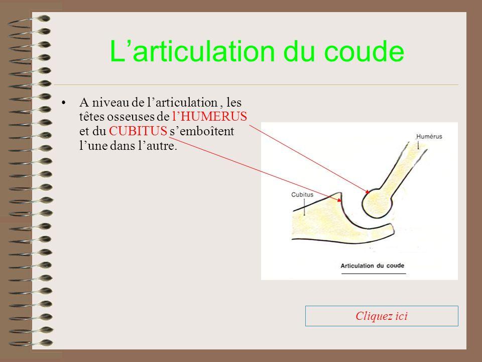 Larticulation du coude A niveau de larticulation, les têtes osseuses de lHUMERUS et du CUBITUS semboîtent lune dans lautre. Cliquez ici