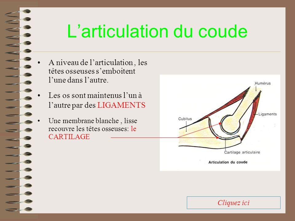 Larticulation du coude Une membrane blanche, lisse recouvre les têtes osseuses: le CARTILAGE A niveau de larticulation, les têtes osseuses semboitent